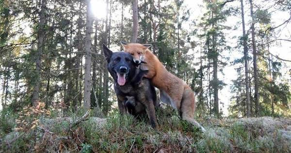 ravmedhund