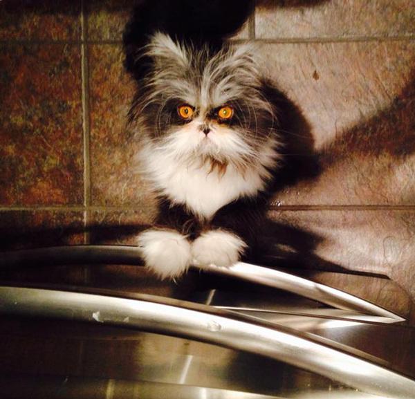 hairy-cat-death-stare-atchoum-14