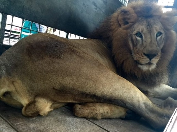 leones5