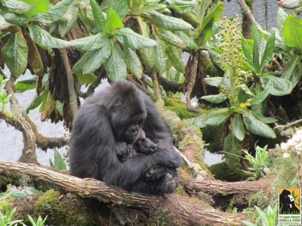 gorilla-twins-8-600x450