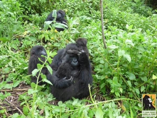 gorilla-twins-10-600x450