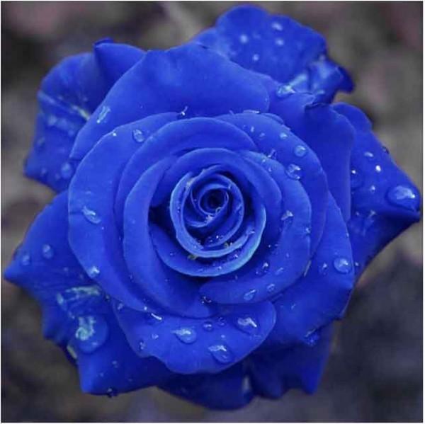 rose-600x599