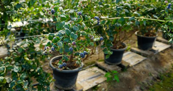 Blåbärs planta
