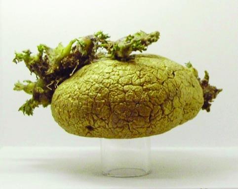 Golden Potato by Julie Hill