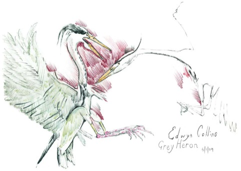 Grey Heron by Edwyn Collins