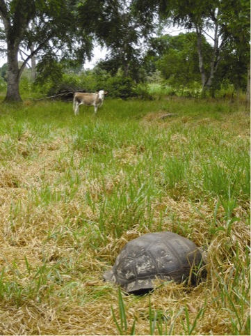 Grazing tortoise and cow on the Galapagos, Dorothy Cross 2007