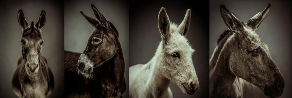 Donkey photographs by Jonathan Oakes