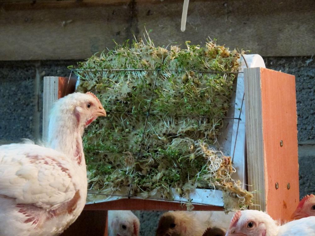Chicken Run Testing Sprouting Bales