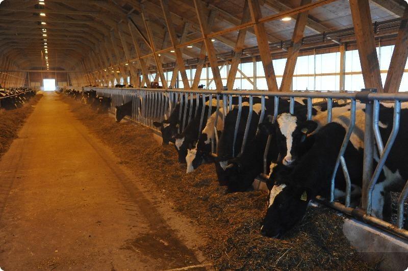 Sprzedaż cieląt oraz krów (290 sztuk)