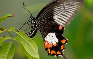 Passiflora's en exotische vlinders in Harskamp