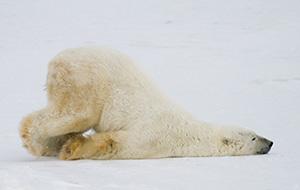 IJsberen in Churchill, Manitoba