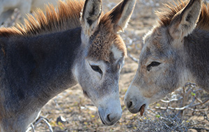 Red de ezels bij Donkey Sanctuary Aruba
