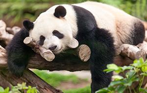 1.Reuzenpanda's in ZooParc de Beauval