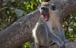 2. Aapjes kijken in Bijilo National Park