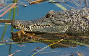1. Krokodillen aaien bij het heilige Kachikally
