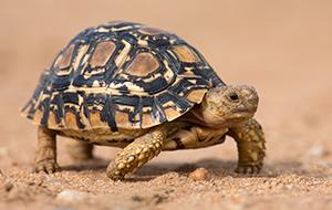 Schildpadden spotten in Kaminia