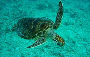 3. Zwemmen met zeeschildpadden