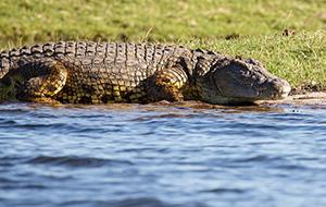 Krokodillen kijken