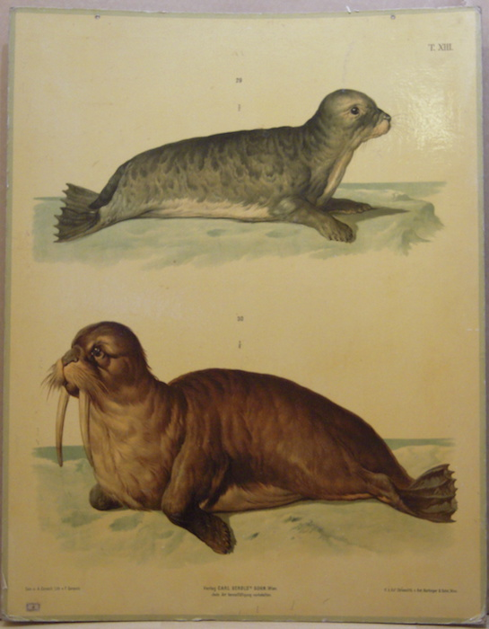 Gemeiner Seehund oder Meerkalb - Wallross (Foca e tricheco).