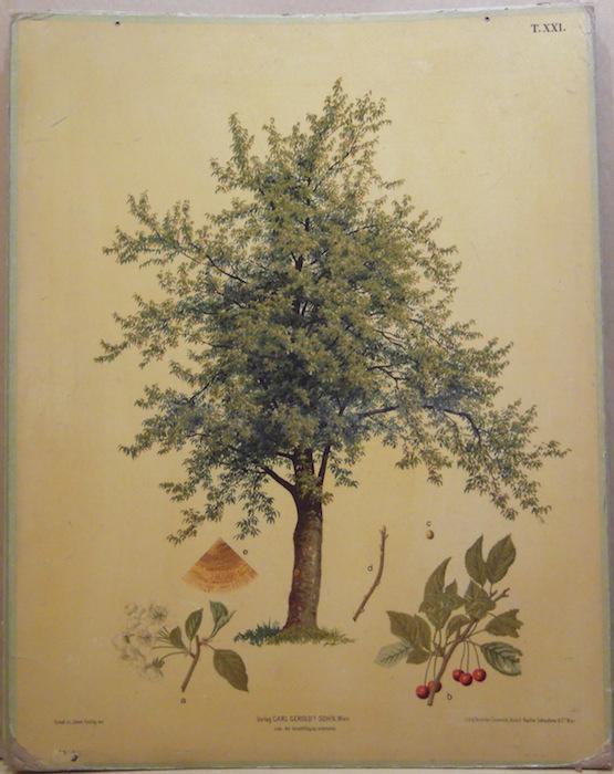 Kirschenbaum (Ciliegio).