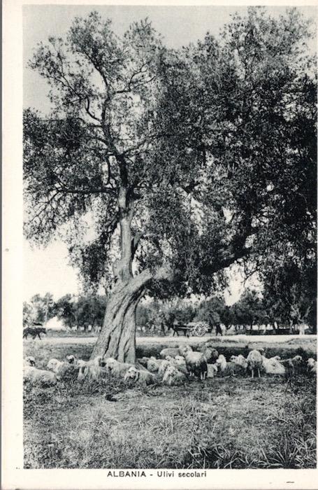 Albania - Ulivi secolari.