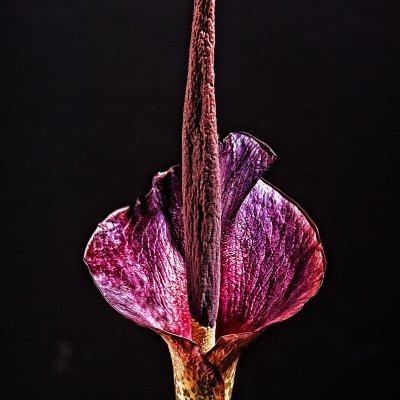 "Amorphophallus 1 of the ""Amorphophallus"" series"