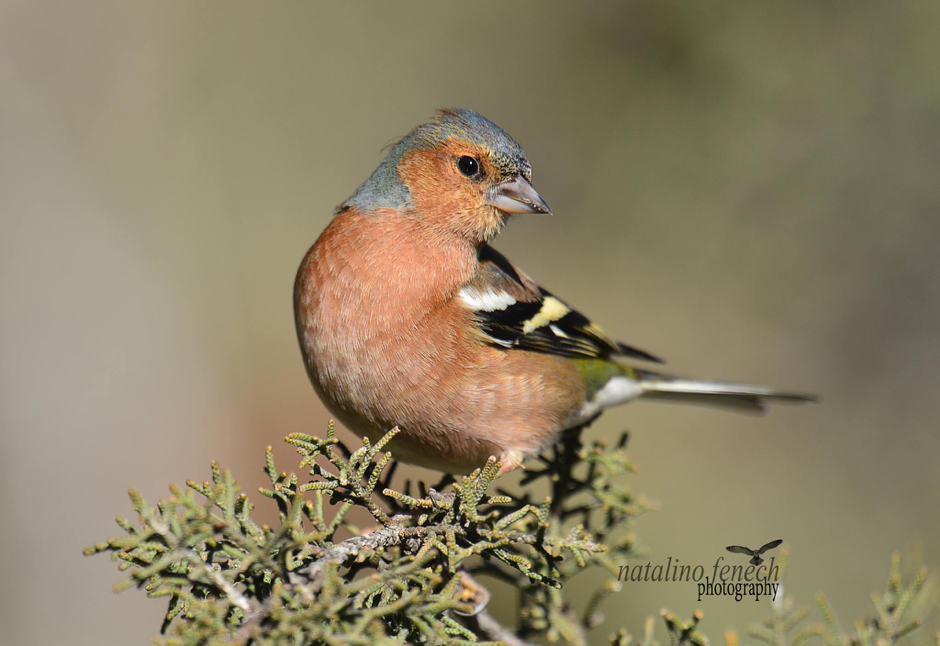 A photograph of a male chaffinch taken by Natalino Fenech. It is a regular autumn migrant in Malta and they can be amazingly beautiful.