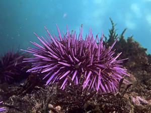 david-wrobel-purple-sea-urchin-strongylocentrotus-purpuratus-pacific-coast-of-north-america