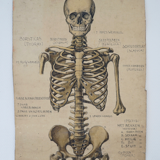 Two large anatomical drawings of human skeletons, ca. 1939