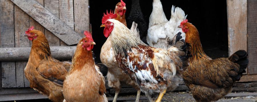 rechtliche Aspekte der Hühnerhaltung