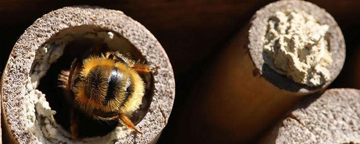 Biene im Insektenhotel
