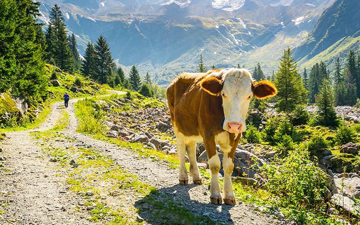 Kuh auf einem Almweg