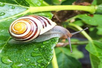 Molluscicide