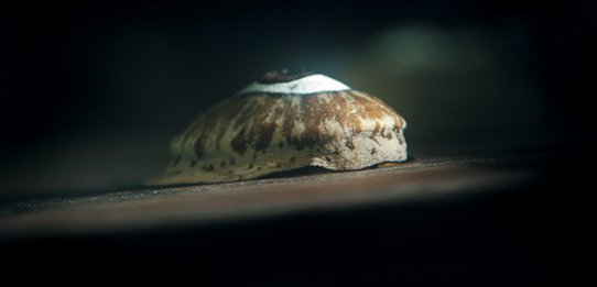 Giant Keyhold Limpet