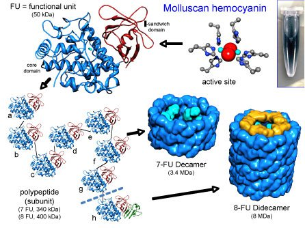 Keyhole Limpet Hemocyanin Structure