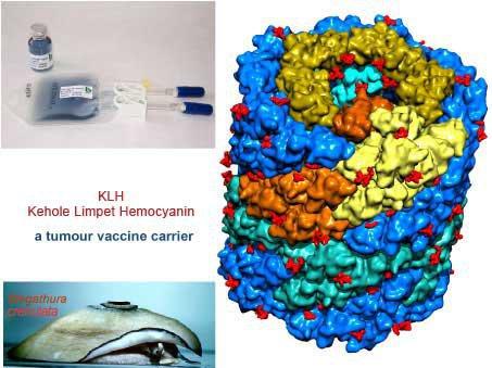 Keyhole Limpet Hemocyanin