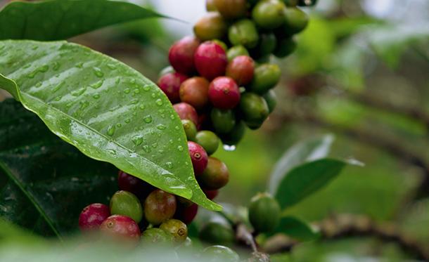 Nachhaltiger Kaffeeanbau