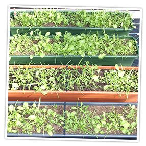 Neudorff Wild-Salat nach 4 Wochen