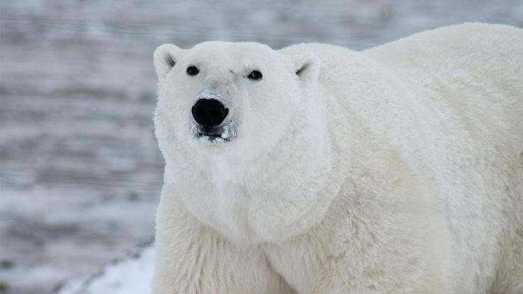 دب قطبي، تغير مناخي، بيئة، ذوبان الجليد