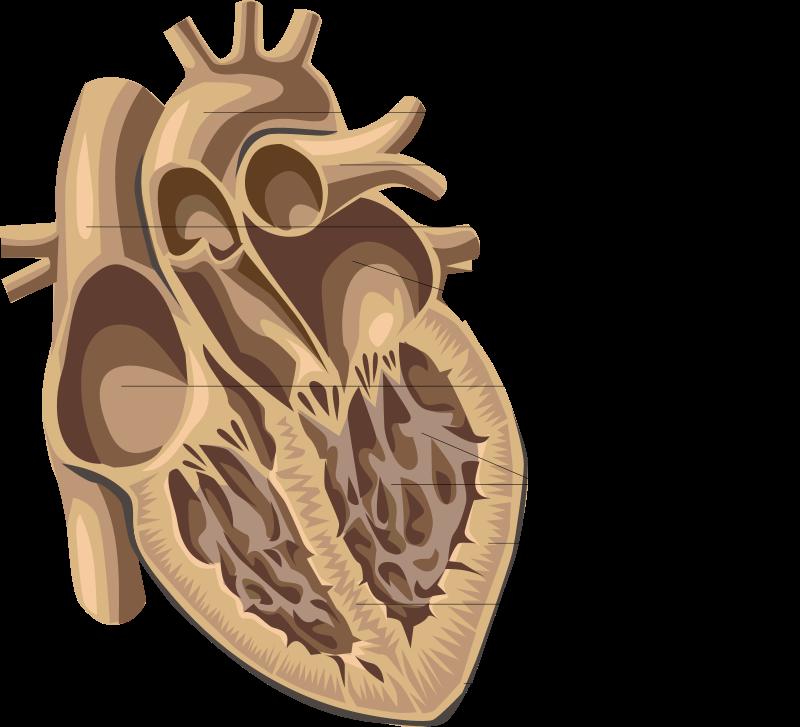 القلب، ساعة أبل، أبل واتش، رسم القلب، أمراض القلب