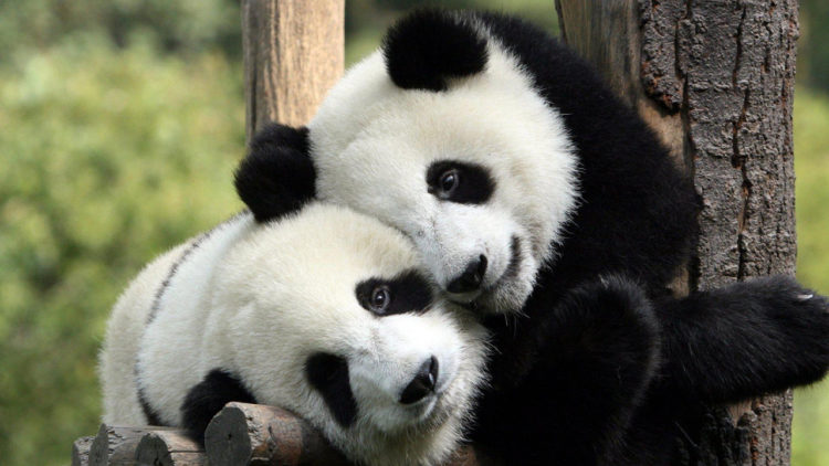 حيوان الباندا, الصين, حياة برية