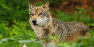 Wolfsichtungen