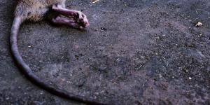 vergiftete Ratte