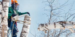 Baum wird zurückgeschnitten
