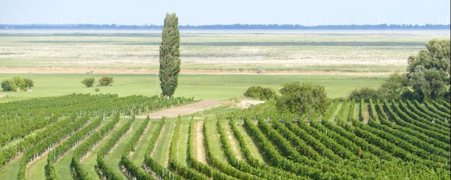 Blick auf Weingärten und auf den Neusiedler See