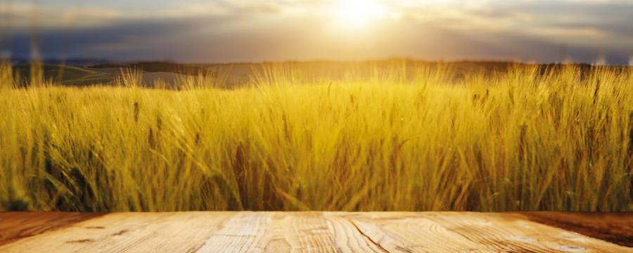 Feld mit Getreide