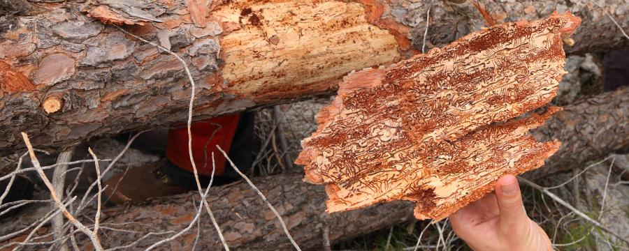 Borkenkäfer und Trockenheit machen den Waldbesitzern große Sorgen.