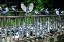 Wildtiere in der Stadt - Was können Kommunen gegen die Tauben machen?