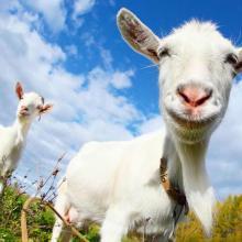 Eine Ziege soll ein Kleinstadt in den USA repräsentiern