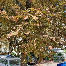 Vergilbte und vertrocknete Blätter am Baum durch Trockenheit